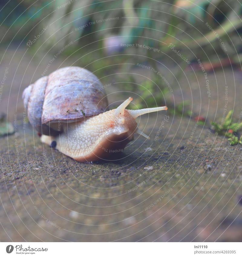 Weinbergschnecke auf Tour Gastropoda Schnecke Weichschnecke Bauchfüßer Kriechfuß Schneckenhaus Gehäuseschnecke 4 Fühler Augen Kalk Einzelgänger tasten riechen