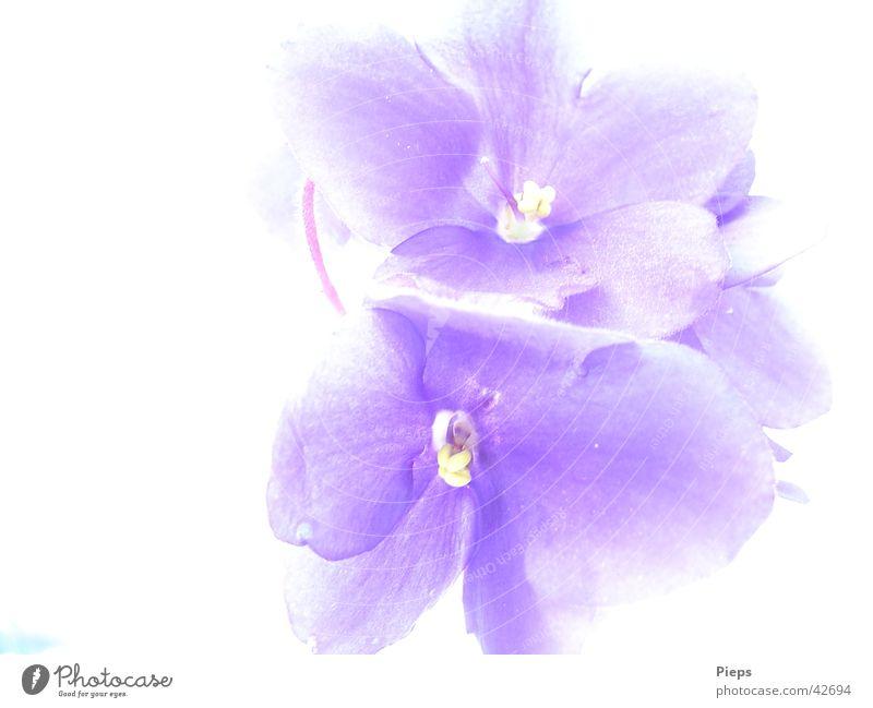 Blaublütig Farbfoto Innenaufnahme Makroaufnahme Textfreiraum links Hintergrund neutral Natur Pflanze Blume Blüte Blühend blau Usambaraveilchen Zimmerpflanze Tag
