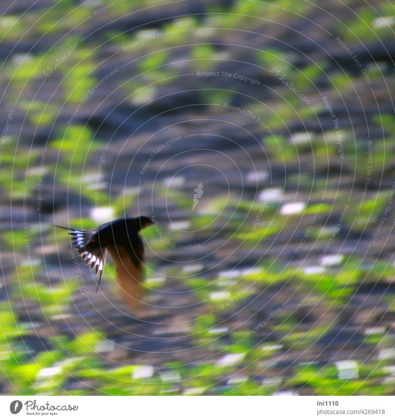 Rauchschwalbe auf Insektenjagd Zugvogel Hausschwalbe Schwalbenvogel Hirundo rustica Flug fliegen Jagen Schwalbenschwanz Schwanzspieße Gabelschwalbe