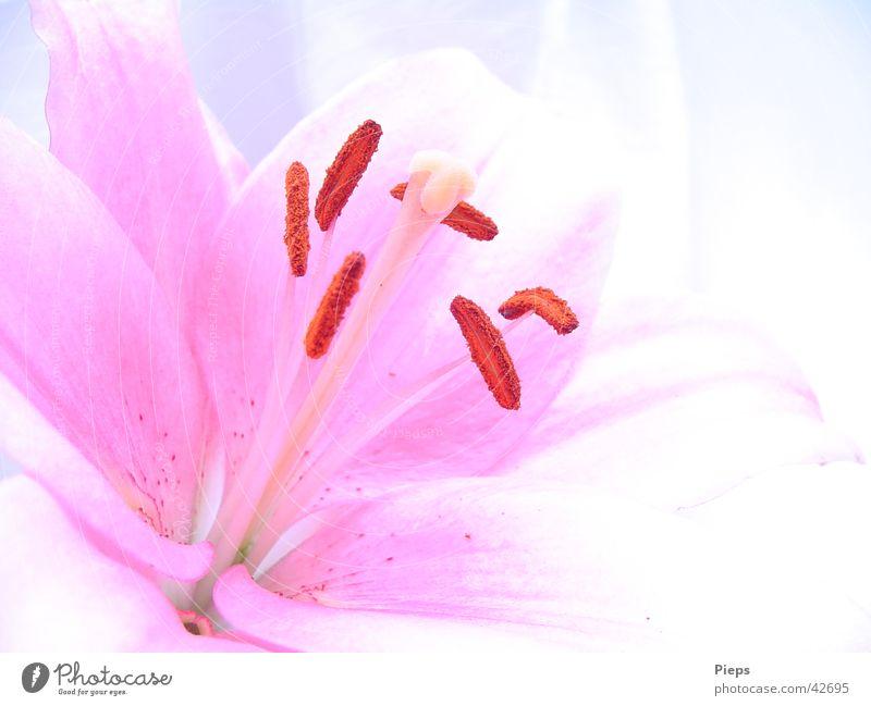 Einblick (2) Farbfoto Innenaufnahme Textfreiraum rechts Tag Sommer Pflanze Blume Blüte Blühend frisch rosa Vergänglichkeit Lilien zart flower