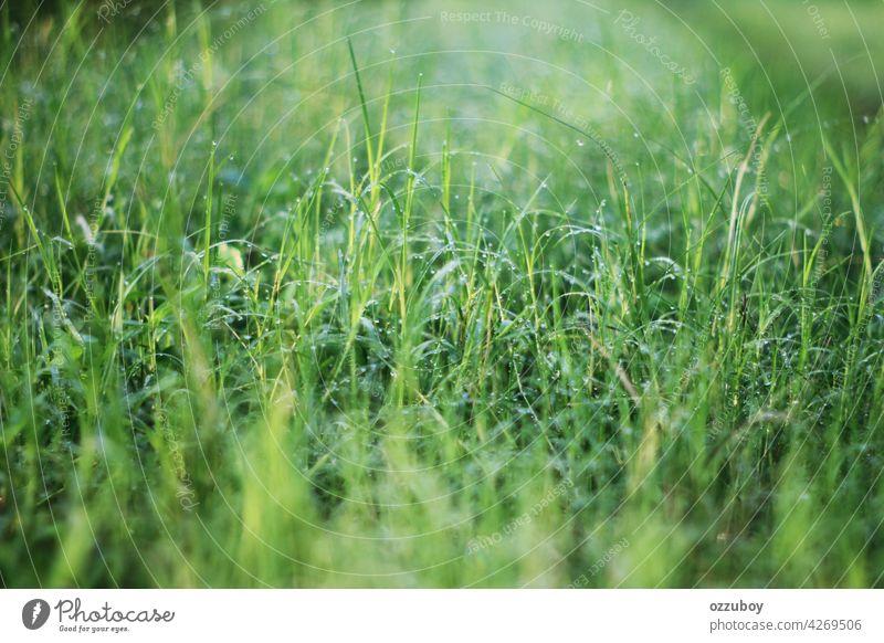 Frisches Gras mit Tautropfen Morgen grün Natur Hintergrund Tropfen Wasser Nahaufnahme Frühling Wachstum Wiese Licht Sonne Feld Umwelt frisch natürlich Sommer