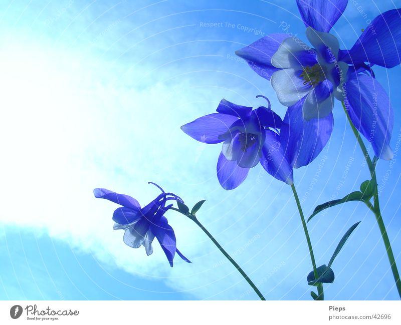 Drillinge Farbfoto Außenaufnahme Textfreiraum links Sommer Garten Himmel Frühling Blume Blüte Blühend blau Frühlingsgefühle Vergänglichkeit 3 Akelei flower Tag