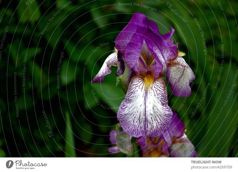 In der Nahaufnahme präsentiert sich  stolz eine leuchtende Irisblüte hingebungsvoll auf ihrem sehr sinnlichen Höhepunkt und lässt das Blattgrün im Dunkel des Hintergrunds verschwinden