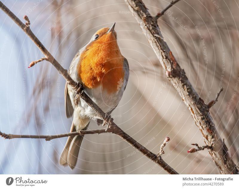 Rotkehlchen im Baum Erithacus rubecula Vogel Wildvogel Tiergesicht Kopf Schnabel Auge Federn Gefieder Flügel Krallen Beine Äste Zweige Zweige u. Äste Sonne