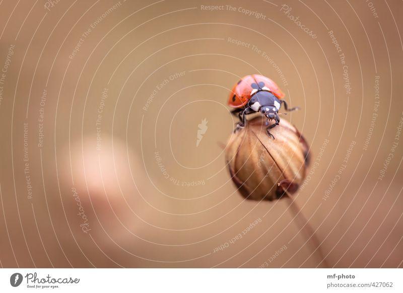Balance Natur Pflanze Sommer Lein Tier Käfer 1 braun gold orange rot Glück Farbfoto Außenaufnahme Nahaufnahme Makroaufnahme Menschenleer
