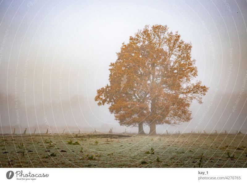 Zwei Bäume auf einem Feld an einem nebeligen Novembermorgen Baum Nebel Nebelstimmung Nebelschleier Spätherbst Herbst Herbstlaub Herbstwetter Herbststimmung