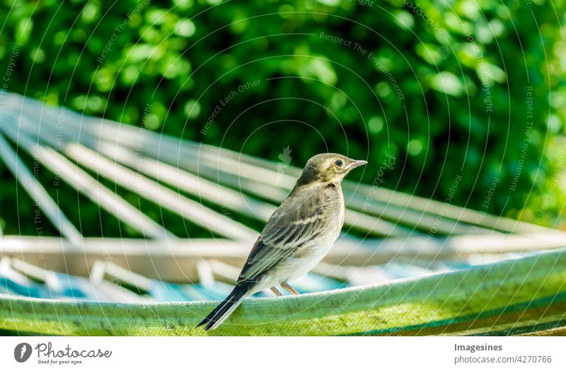 Entspannung auf der Hängematte. Baby Bachstelze (Motacilla alba) Jungvogel im Garten, im Sonnenlicht Alba Tier Tierwelt Tiere in freier Wildbahn Hintergrund
