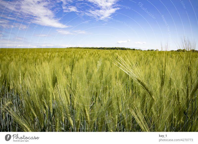 Getreidefeld im Mai unter blauem HImmel Feld Getreidehalm Getreideacker getreideanbau Sommer Nutzpflanze Kornfeld Landwirtschaft Natur Ähren Ackerbau Ernährung