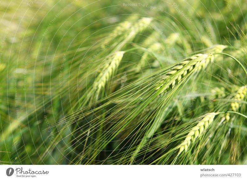 Körner Lebensmittel Getreide Ernährung Bioprodukte Landwirtschaft Forstwirtschaft Natur Landschaft Feld Umwelt korn gold Kornfeld Weizen bepflanzen essen Gerste