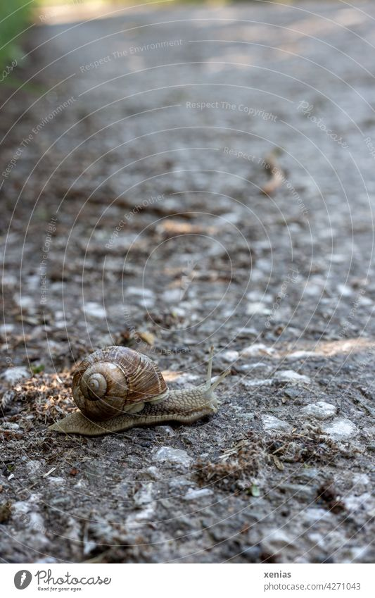 Langsam überquert eine Weinbergschnecke die asphaltierte Straße Schnecke Tier Schneckenhaus Asphalt grau langsam braun Geduld gefährlich Fühler rund klein