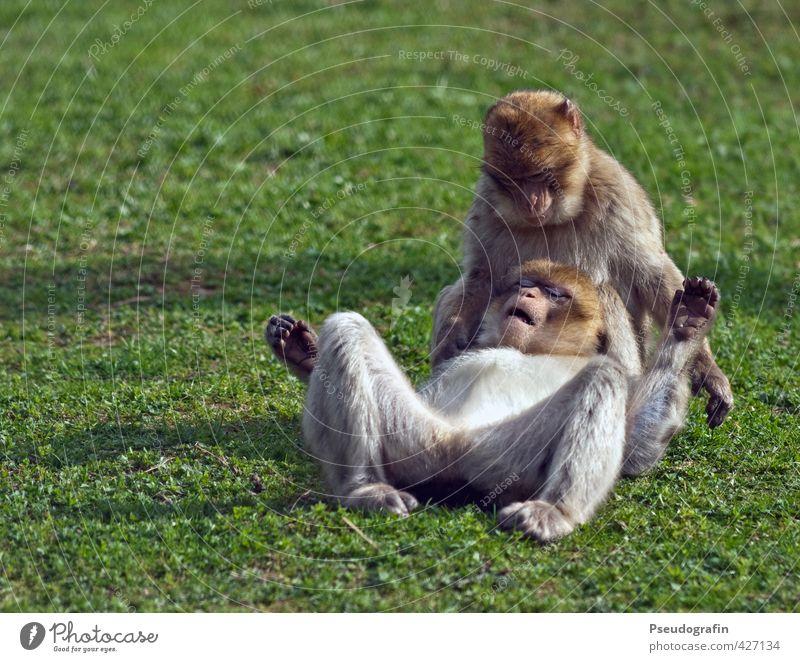 Zwei Affen Zoo Tier Wildtier Tiergesicht Fell Pfote 2 Tierpaar berühren Erholung fallen festhalten genießen hocken liegen Zusammensein niedlich Zufriedenheit