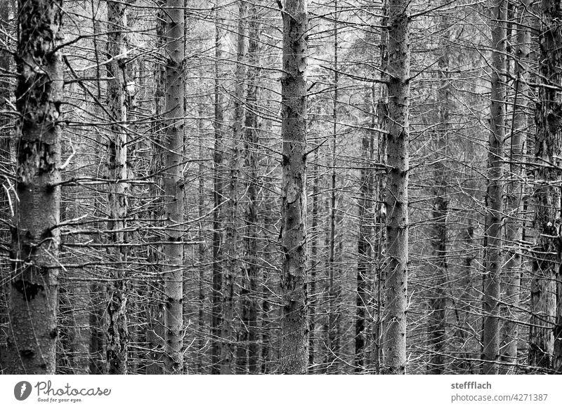 S/W Nadelwald ohne Nadeln Wald Nadelbaum Stamm Stämme leer Borkenkäfer Baum Natur Umwelt Außenaufnahme Pflanze Menschenleer Bäume Holz Forstwirtschaft Baumstamm