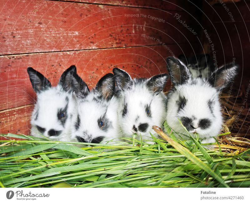 Was für ein Wettfressen denken sich die kleinen Kaninchen und lassen sich das frische grüne Gras schmecken. Hase & Kaninchen Tier Ohr Fell Haustier niedlich