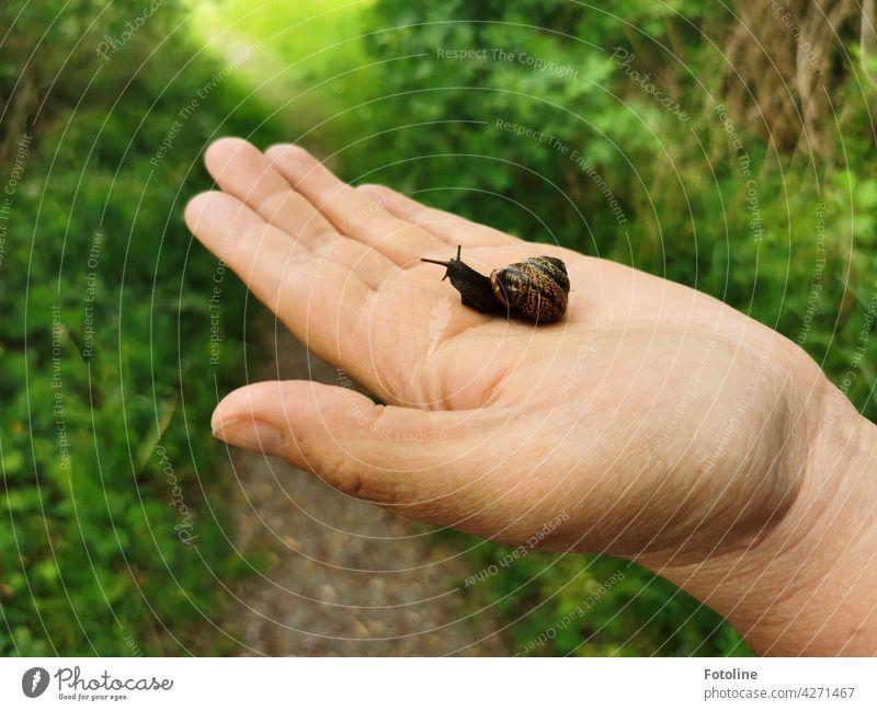 Schnecke gerettet! freut sich Fotoline und setzte die Kleine ins Gras. Schneckenhaus langsam Fühler Tier schleimig Schleim Haus Nahaufnahme Geschwindigkeit