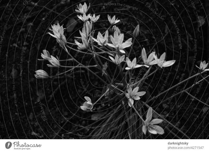 Sternmiere, Stellaria, Blume im Wald Sternmieren graustufen Blumen Blüten sternförmige weiße helle Unschärfe Nahaufnahme Blühend natürlich Natur Frühling