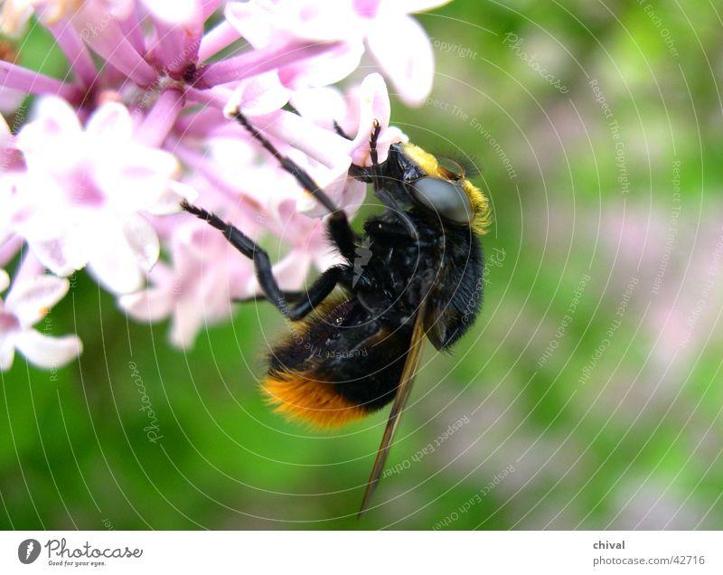 Hummel Biene Blüte Blume Ernährung bestäben Lebensmittel Auge Flügel Sauger