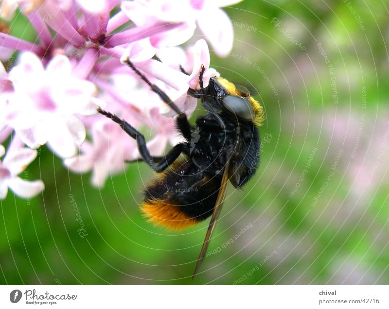 Hummel Blume Auge Ernährung Blüte Lebensmittel Flügel Biene