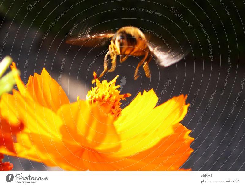Schwebfliege Blume gelb Blüte Fliege Biene Honig Schmuckkörbchen