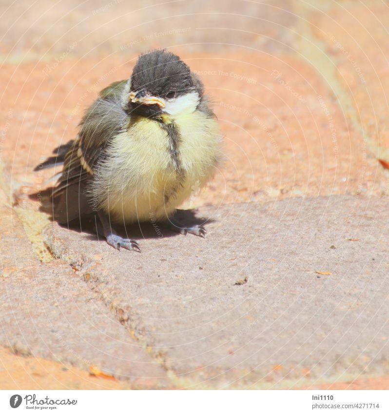 """junge Kohlmeise schaut nach """"Essen auf Flügeln"""" Vogelart Meisenart Jungvogel Junges unbeholfen Küken Federbällchen Fütterung trotzig winzig Pflastersteine"""