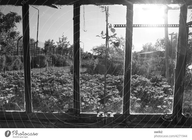 Fensterfront Gewächshaus durchsichtig Glaswand Detailaufnahme Garten Metall Sträucher Pflanze Frühling alt Zahn der Zeit Schwarzweißfoto Umwelt Gartenbau