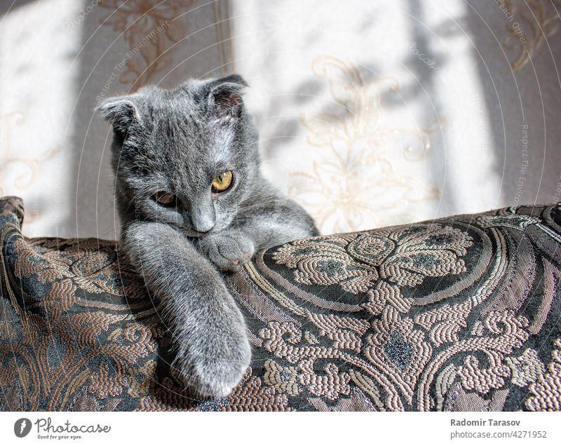 Schopfohrige graue Katze auf dem Sofa liegend niedlich Haustier Fell Hängeohr Reinrassig klein fluffig Tier Porträt Auge Schottisch schön heimisch Gesicht