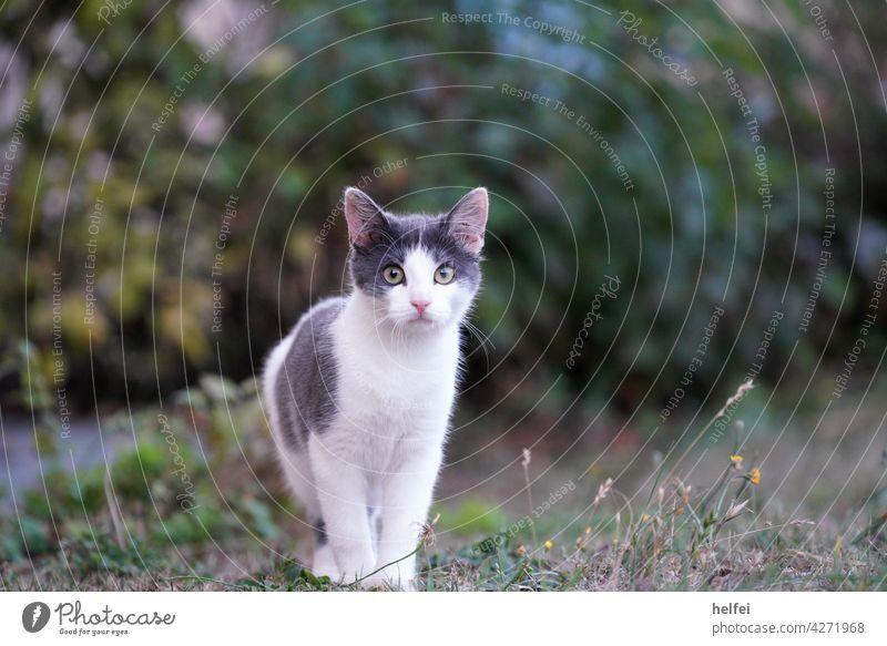 Grau weiße Katze im Garten blickt direkt in die Kamera Langhaarige Katze fluffig Haustiere Pussycat junge Katze Mietzekatze Hauskatze Freigänger Farbfoto
