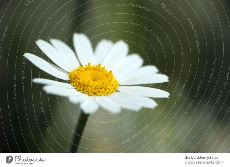 Margarite Margerite Blume weiß Pflanze Blüte Natur Sommer Außenaufnahme Farbfoto grün Blühend Tag Menschenleer gelb Wiese Nahaufnahme Garten schön