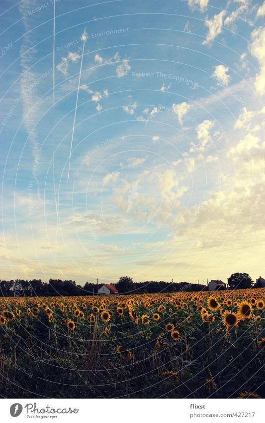 Vive la France Landschaft Himmel Sommer Schönes Wetter Zufriedenheit Sonnenblume Feld Frankreich Farbfoto Außenaufnahme Textfreiraum unten Tag