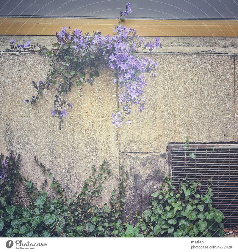Überlebenskünstler Mauer Glockenblume Blume Natur Blühend Außenaufnahme Farbfoto