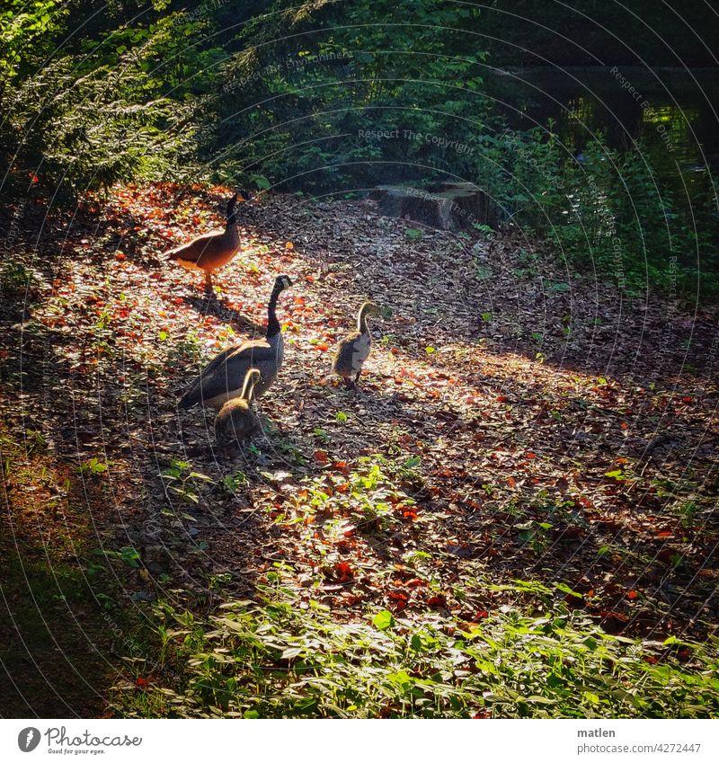 Abendspaziergang abend Spaziergang Familie Küken Kanadagans Sonnenlicht Gegenlicht Außenaufnahme Farbfoto Licht Landschaft Schatten Menschenleer Schönes Wetter