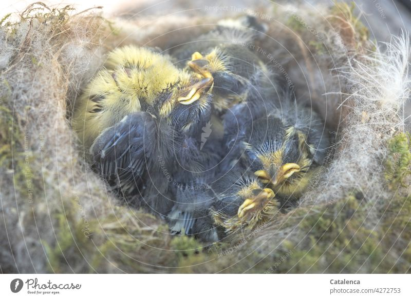 Meisenkinder  im Nistkasten Natur Tiere Vogel Blaumeise Singvögel Küken klein Wildtier Feder Schnabel Tag Tageslicht Tod tot Trauer Verlust Umwelt Gelb Grau