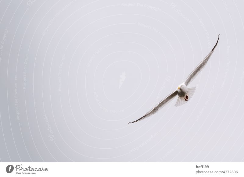 die Möwe gleitet ruhig dahin Möwenvögel Möwenfliegen Wildtier Vorderansicht Rotschnabelmöwe ästhetisch elegant Larus dominikanus Mantelmöwe Dominikanermöwe
