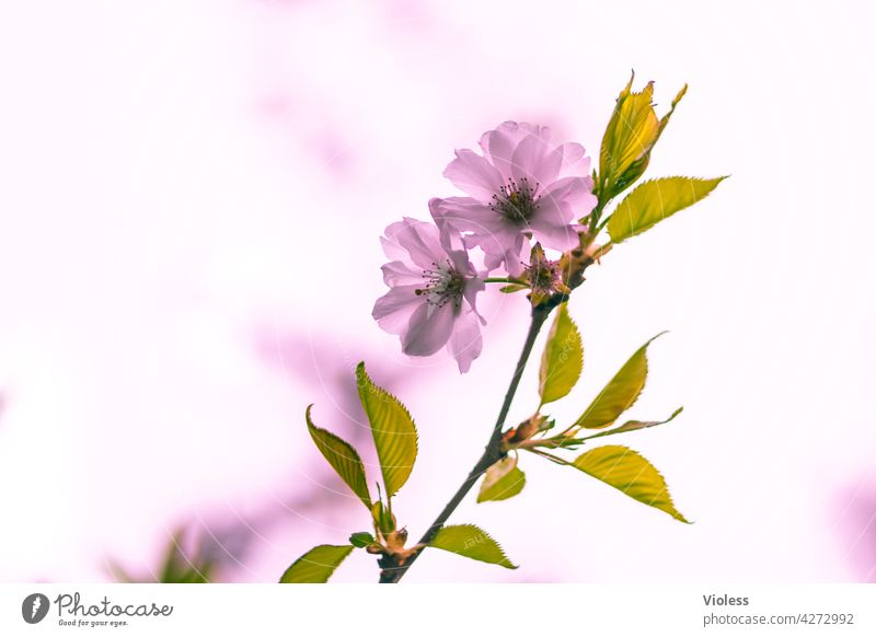 Frühlingskirsche natürlich rosa Blüte Blütenblätter Hanami Sakura Frühlingsgefühl sonnig farbenfroh Frühlingstag sonniger Frühlingstag blühend Kirschblütenfest