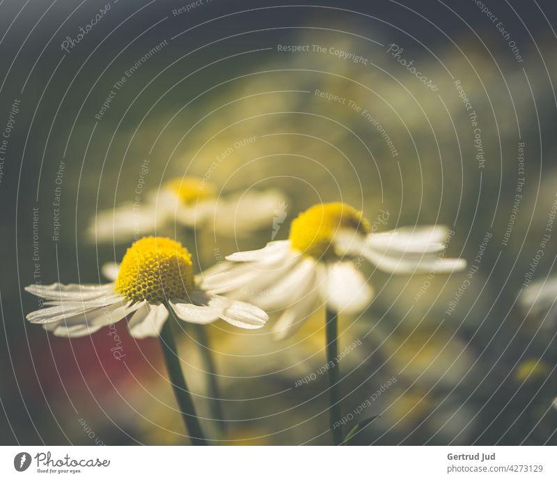 Kamillenblüten im Abendlicht Blume Blumen und Pflanzen Blüte Farbe weiss Natur Garten Sommer Farbfoto Außenaufnahme Nahaufnahme Wiese Abenddämmerung Abendsonne