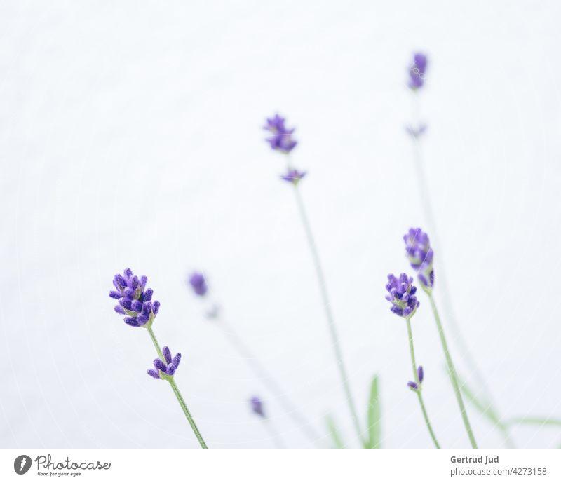 Lavendelblüten vor weißem Hintergrund Blume Blumen und Pflanzen Blüte Farbe lila Frühling Natur Garten Farbfoto Sommer Blühend Heilkräuter Heilpflanzen schön