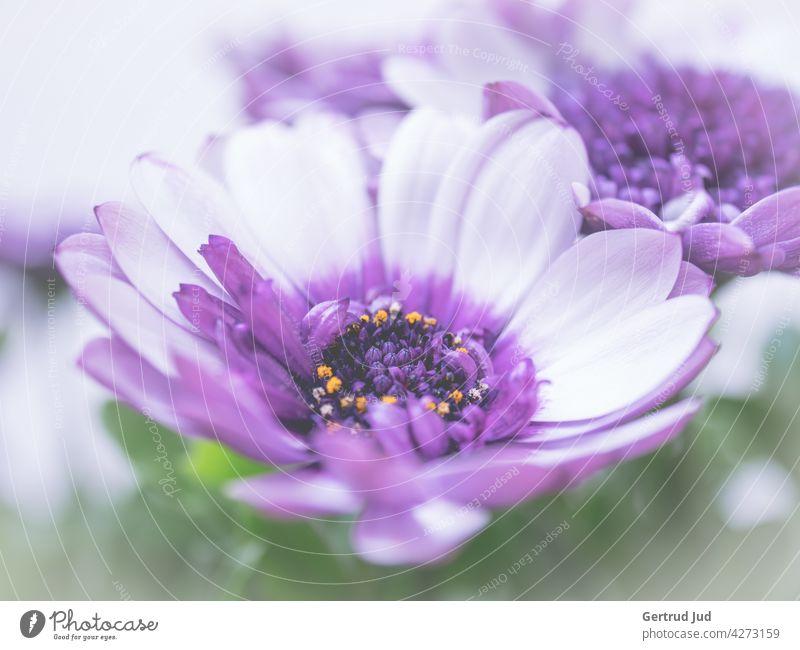 Lila Kapmargarite in Blüte Blume Blumen und Pflanzen Farbe lila Frühling Natur Sommer Garten Blühend Farbfoto Außenaufnahme Nahaufnahme natürlich violett