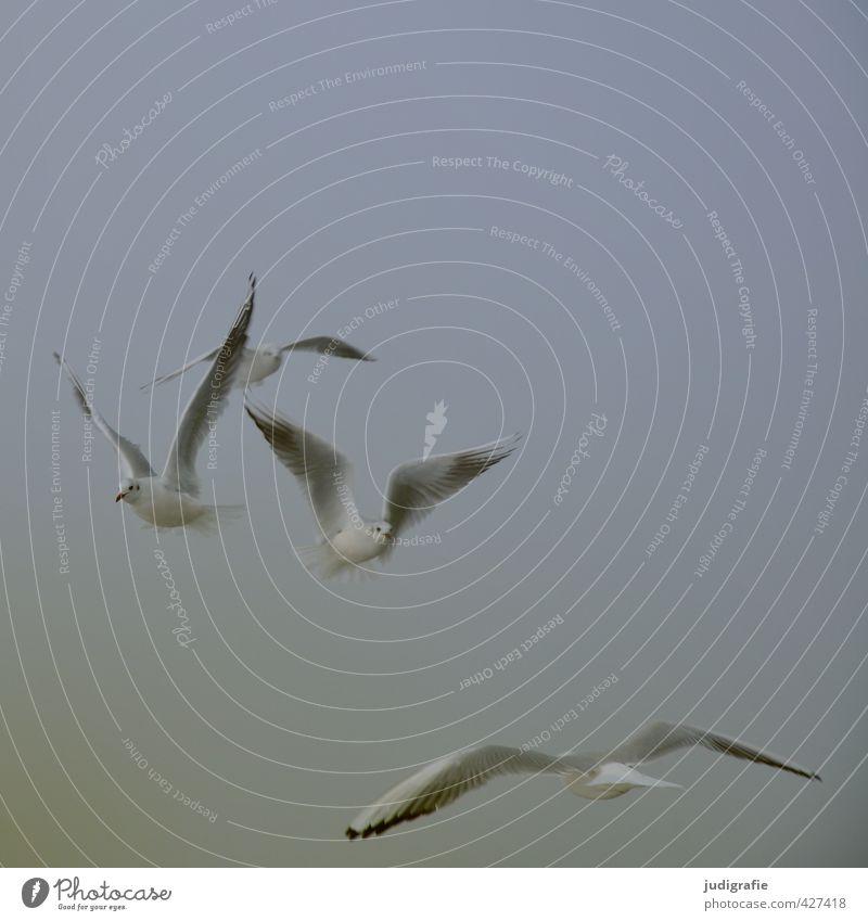 Fliegen Umwelt Natur Tier Himmel Klima Nebel Küste Ostsee Wildtier Vogel Möwe Lachmöwe 4 Schwarm fliegen natürlich wild Stimmung Farbfoto Gedeckte Farben