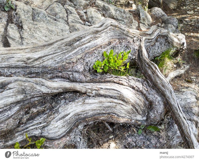 Frische, junge Heidelbeerpflanzen gedeihen und wachsen. Geschützt von mächtigen, abgewitterten Wurzeln am Wegesrand. Pflanze neues Leben grün verwittert