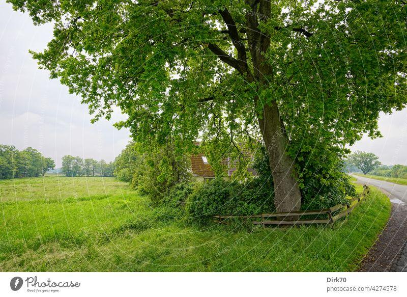 Im Grünen wohnen - ein Haus umgeben von Wiesen unter einem wirklich großen Baum Baumstamm im Grünen im Grünen wohnen grün Natur Außenaufnahme Sommer Garten