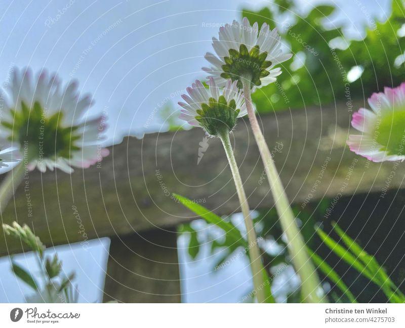 Gänseblümchen vor einem Holzzaun schauen in den blauen Himmel Bellis perennis Blümchen weiß Frühling Frühlingsgefühle Blume rosa niedlich klein bescheiden lieb