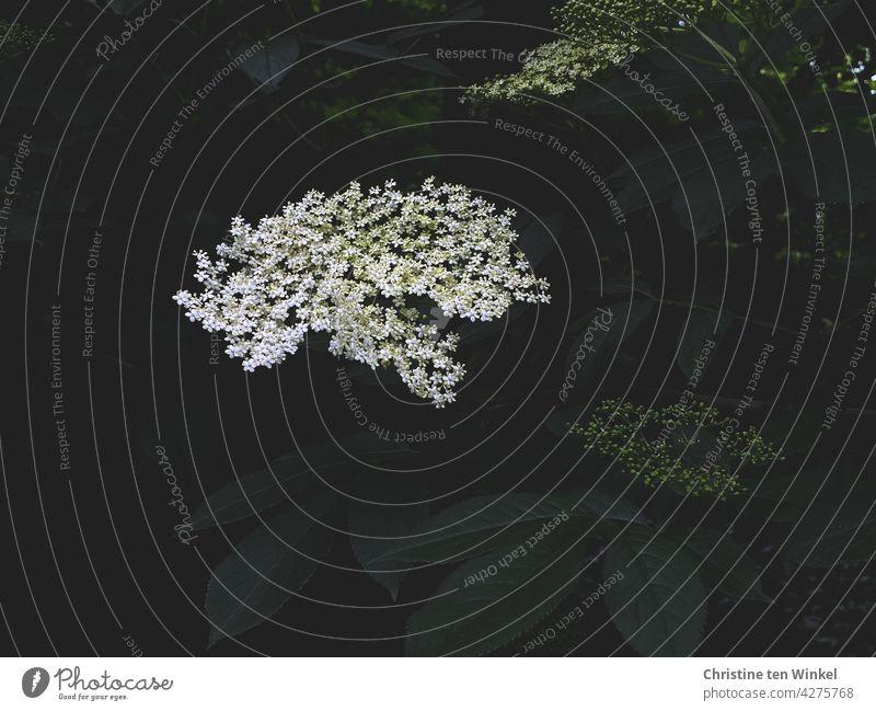 Weiße duftende Blüte des schwarzen Holunders / Fliederbeere / Holler / Sambucus nigra Holunderblüte schwarzer Holunder weiß grün Hollerbusch Fliederbeeren