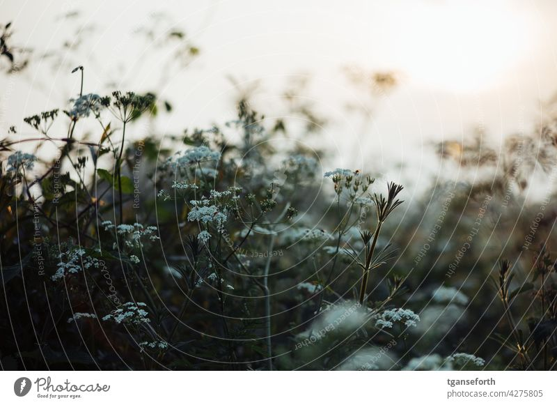 Wildwuchs am Wegesrand Pflanzen Blüten Frühling Sonnenuntergang Gegenlicht Wildpflanze Außenaufnahme Blume Natur Blühend Farbfoto grün natürlich Sommer Garten