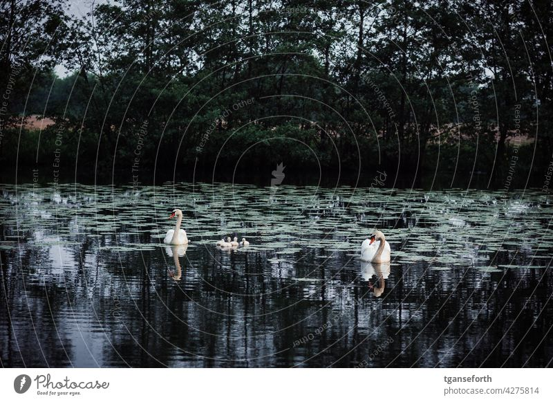 Schwanenfamilie Küken Vogel Tierjunges Außenaufnahme Menschenleer Tierporträt Tag Wildtier Textfreiraum oben Nachwuchs Familie Tierfamilie niedlich Farbfoto