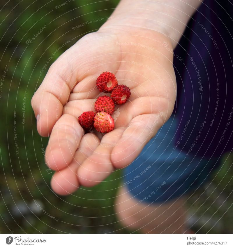 frisch gepflückte Walderdbeeren in der Hand eines Kindes Frucht Wildpflanze Waldfrucht Kinderhand Nahaufnahme halten Farbfoto Außenaufnahme Ernährung