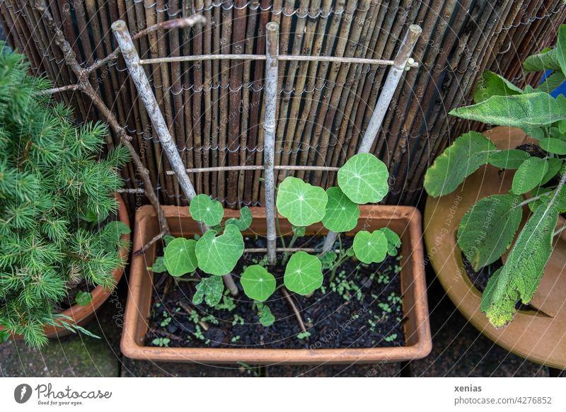 Kapuzinerkresse wächst in einem rechteckigen Terrakotta mit Rankgitter zwischen Salbei und kleinem Nadelgehölz Blätter Pflanze rankend grün Wachstum Natur