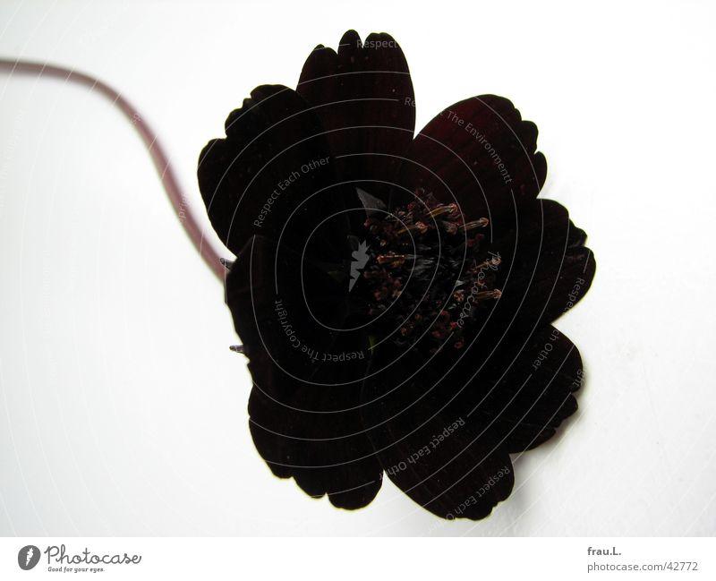 schwarze Witwe Natur schön Blume Pflanze rot Blatt einfach Dekoration & Verzierung Blütenblatt Staubfäden bescheiden