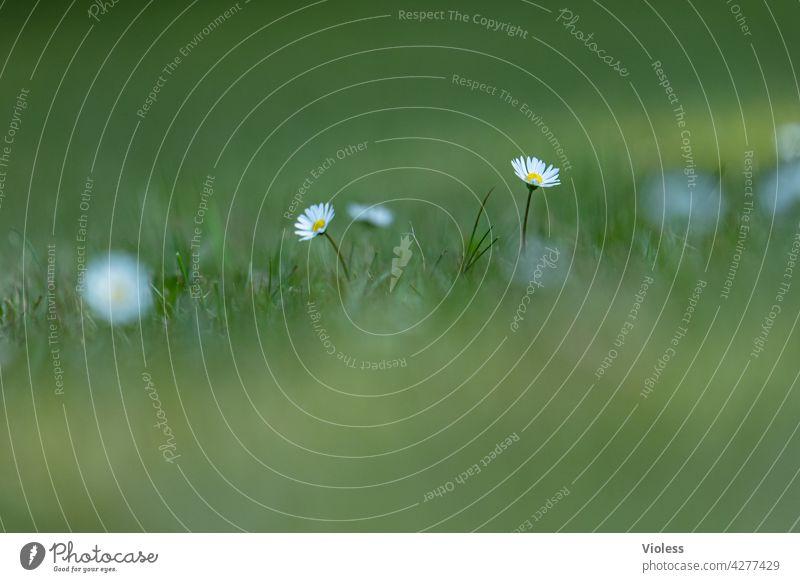 Tausendschön Gänseblümchen Rasen Wiese Unschärfe Maßliebchen Margritli Natur zart