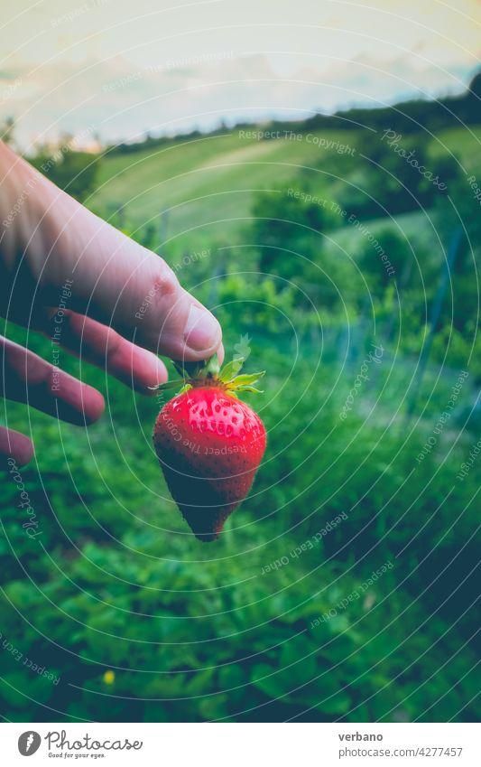 Hand des kaukasischen Landwirts zeigt eine frische Bio-Erdbeerfrucht gerade gegen die grünen Erdbeerfelder gepflückt Erdbeeren Feld Beeren Sommer organisch