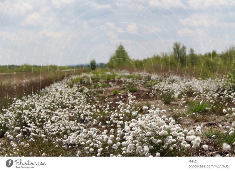 Fruchtstand am Wollgras (Eriophorum) im Moor Hochmoor Sumpfgebiet fruchtender Zustand Sauergrasgewächs Blütenhüllfäden Wollschopf Wattebausch Naturschutz
