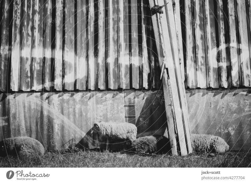 Schafe in schwarz und weiß ruhen sich aus Nutztier Metallwand ausruhen Tiergruppe Viehhaltung Viehzucht Wiese Schwarzweißfoto Graffiti lost places Wellblech